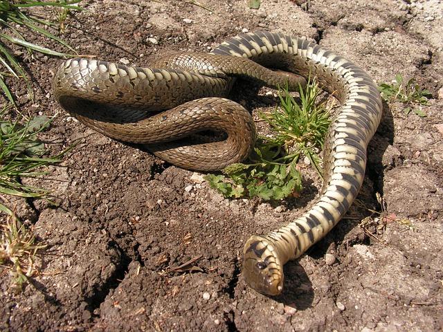 تفسير حلم رؤية قتل الثعبان أو الحية في المنام أو رؤيته ميت