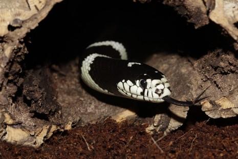 حية أو ثعبان يخرج من جحره او من بين الصخور