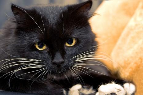 رؤية القطة السوداء او البيضاء في الحلم