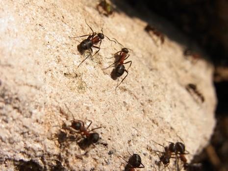 النمل الاحمر الكبير او الصغير في المنام لابن سيرين