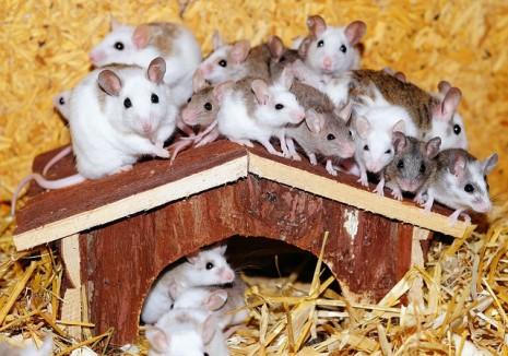 الكثير من الفئران