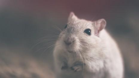 رؤية الفأر أو الجرذ في المنام