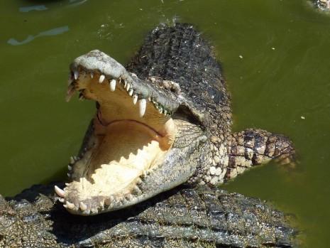 عضة تمساح