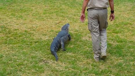 تمساح قريب