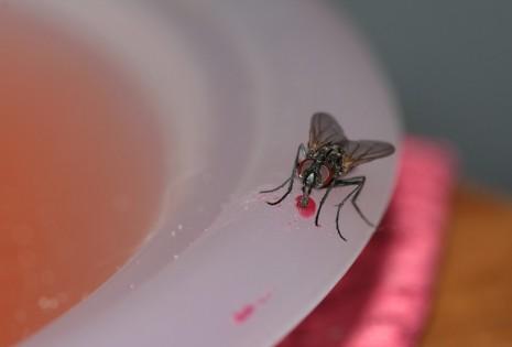 الذباب والطعام