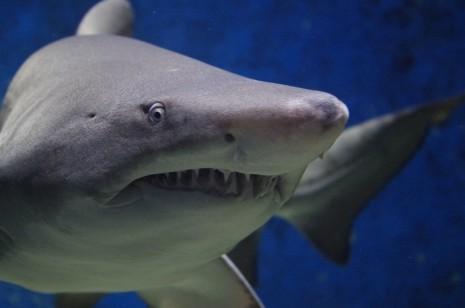تفسير رؤية سمك القرش في الحلم