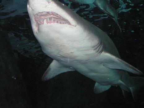 سمك القرش في المنام يهاجم أو يطارد أو يأكله