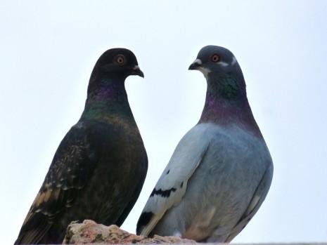 paloma Pigeon