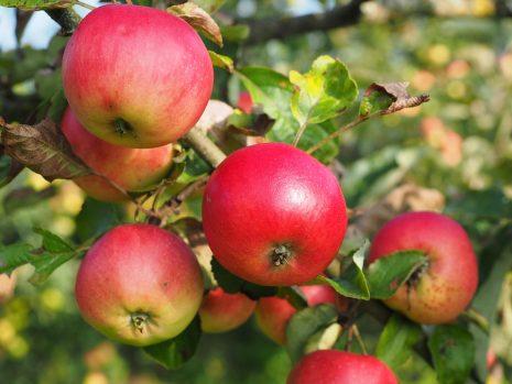 تفسير حلم رؤية شجرة التفاح أو القطف من ثمارها في المنام