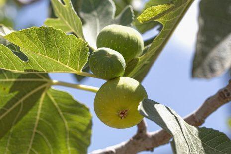 شجرة التين في المنام وتفسير رؤيتها للحامل والمتزوجة