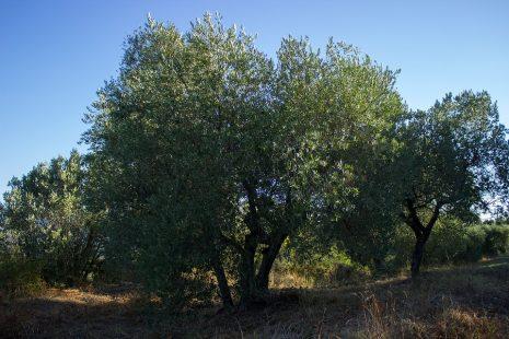 رؤية شجرة الزيتون في حلم المنام