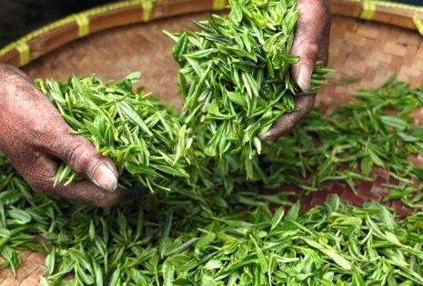انقاص الوزن بسرعة باستخدام الشاي الاخضر