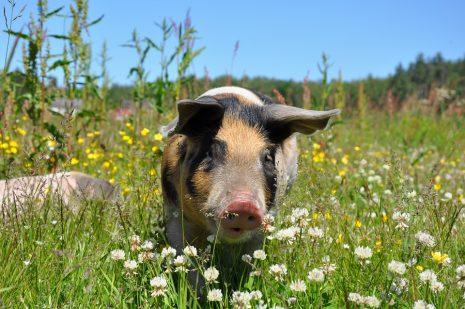 تفسير حلم رؤية الخنزير في المنام اكله أو شويه أو تقطيعه