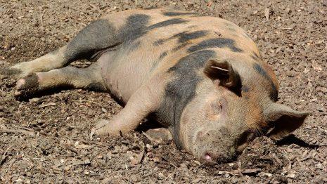 تفسير رؤية الخنزير الميت في المنام لابن سيرين