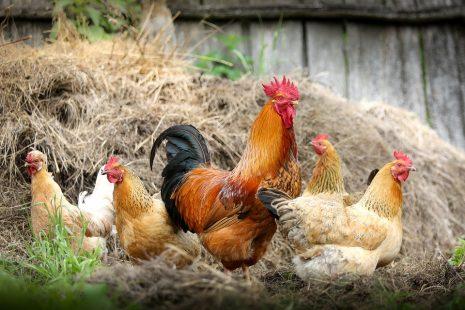 chicken تفسير حلم رؤية الدجاج المطبوخ أو المشوي أو الميت