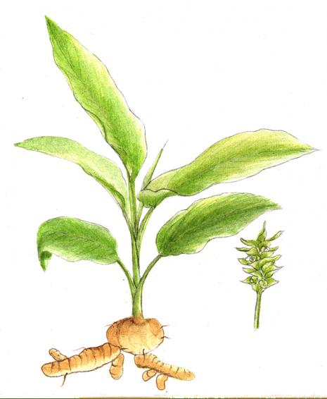 شكل نبات الكركم turmeric plant